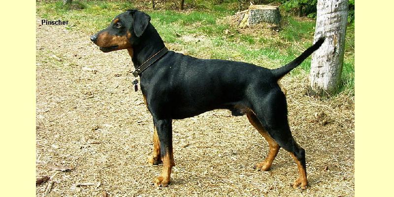 Scheda cani for Pinscher medio