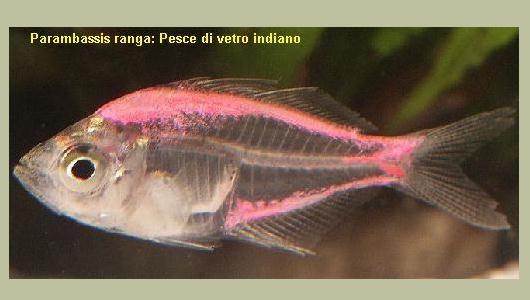 Pesci for Pesce pulitore acqua dolce