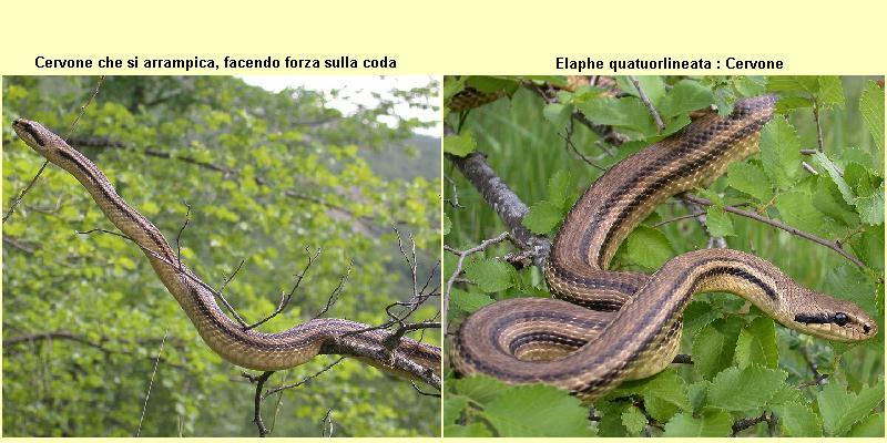 Rettili for Serpente frustone